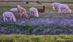 Alpacas,Groninger Landschap ,Groningen ,the Netherlands,Europe (Aheroy) Tags: alpacas animals dieren artiodactyla evenhoevigen camelidae kameelachtigen cameluspacos huacayaalpaca groningen landschap groningerlandschap aheroy aheroyal platteland campo campagne rural landschaft paysage
