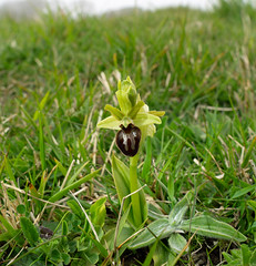 earlyspiderorchid (garrymoors) Tags: early spider orchids durlston country park dorset jurrasic coast rare plant
