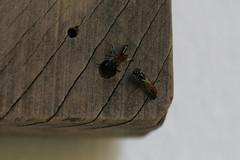 vespas solitárias fechando o ninho (abelhário) Tags: vespa vespasolitária vespas solitarywasp wasp wespen beehotel bienenhotel bijenhotel wasps hymenoptera brazil brasil brasilien brazilië inseto insecto insect insekt insekte