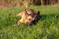 _MG_7386 (icycoldtouches) Tags: thor dog pet animal german shepherd belgian malinois puppy canon canoneos80d tamron tamron90mm