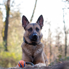 _MG_7354 (icycoldtouches) Tags: thor dog pet animal german shepherd belgian malinois puppy canon canoneos80d tamron tamron90mm