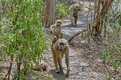 Медвежий павиан, Papio ursinus, Chacma Baboon (Oleg Nomad) Tags: африка замбия водопад виктория скалы zambia africa victoria falls rocks travel медвежийпавиан papioursinus chacmababoon