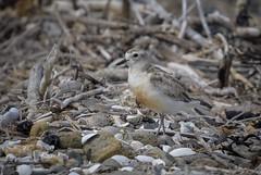 New Zealand Dotterel (njohn209) Tags: birds d500 nikon nz