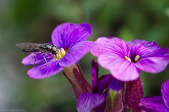 miniscule 28/100x 2019 (sure2talk) Tags: miniscule fly violet nikond7000 nikkor85mmf35gafsedvrmicro macro closeup 100xthe2019edition 100x2019 image28100 28100x2019 shallowdof bokeh