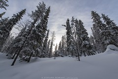 Forest (stefano.sedrani1) Tags: natura paesaggio cold frozen winter snow atmosphere scenery trees forest nikon nature beautiful landscape finland lapland