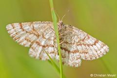 2013.06.10 - 6370 - Phalène picotée Séné © (chmeyer51) Tags: insecte papillon phalènepicotée lépidoptère geometridae ennominae ematurgiaatomaria