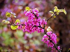 Arbre de Judée (Dominique Dufour) Tags: arbredejudée fleurs fleursroses nature flower arbrefleuri macrophoto proxyphoto sigma fuji fujis5pro dominiquedufourphoto dominiquedufourflickr