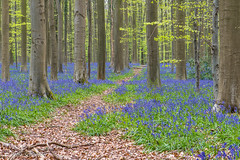 Bluebell forest (Petra S photography) Tags: hallerbos boisdehal bluebells jacinthes hasenglöckchen belgium belgique bluebellseason forest forestpath wood
