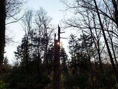 20190415-170528-00016A- (hugoholunder) Tags: sonne wald natur bayern baum licht schatten laub tanne