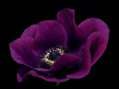 Lady of the Dark ... (High-Hopes) Tags: blossom blooming anemone dark lady night spring petals macro midnight purple