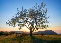 Spring on Medves (Janos Puskas) Tags: spring sunset tree blossom cherry meadow castle castleofsomoskő uwa tokina116 tokina1116 sky somoskő medves