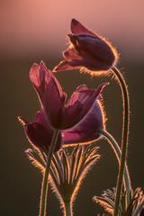 Zartes Rot (airamatina) Tags: rot pflanze blume küchenschelle pulsatilla sonnig gegenlicht nikon d 750