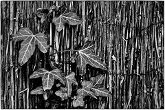 """""""Most certainly I tell you that tonight, before the rooster crows, you will deny me three times."""" (ahmBerlin) Tags: bw schwarzweiss sw monochrome fence ivy efeu strohzaun matthew2634 gründonnerstag holythursday"""