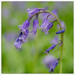 bluebells 34/100x 2019 (sure2talk) Tags: bluebells micheldeverwoods hampshire macro closeup nikond7000 nikkor85mmf35gafsedvrmicro 100xthe2019edition 100x2019 image34100 34100x2019 artgrowninnature