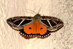 ecosystem/fauna/Fruit-piercing Moth(Eudocima materna) (biodiversity western ghats(before it is gone)) Tags: taxonomy:binomial=eudocimamaterna erebidae calpinae diversityindia indianmoths