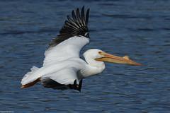 White Pelican - Mar-17-2019 (104-1) (JPatR) Tags: 2019 foxrivervalley illinois kanecounty march whitepelican bird nature wildlife winter
