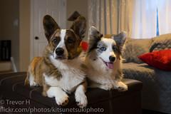 Siblings (Kenjis9965) Tags: cardigan welsh corgi brindle blue merle puppy doggos doge corgo stumper sitting siblings agreeing carl zeiss distagon 35mm f14 za fe distagon3514za sel35f14z sonya7iii sony a7iii a7 mark iii distagontfe1435 distagont1435