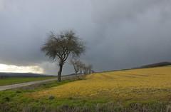 Baumreihe (rolandwittenberg) Tags: harzvorland regen regenwolken regenwetter baumreihe kulturlandschaft