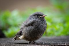 Merle juvénile - DSC09220-2 (Ptittomtompics) Tags: animaux jeune oiseaux petit juvénile oiseau animale animal wild wildlife garden jardin merle sauvage