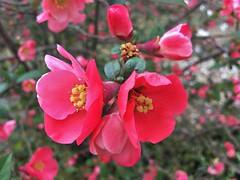 Flowering Quince/Japonica (karma (Karen)) Tags: baltimore maryland bushes blossoms dof bokeh hbw iphone floweringquince japonica