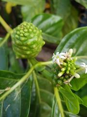 Morinda citrifolia L. Rubiaceae- Indian mulberry, ยอ (SierraSunrise) Tags: esarn flowers fruit green isaan nongkhai phonphisai plants rubiaceae thailand white
