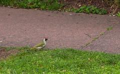 Pic vert (JeanJoachim) Tags: picvert picusviridis piciformes picidae oiseau bird vogel aves uccello fågel fugl pássaro バード lintu птица ptak grünspecht europeangreenwoodpecker pentaxk5iis smcpentaxda300mmf4edifsdm