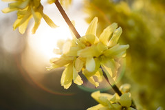 Yellow flower (Anne K.R. Photography) Tags: flower flowers yellow sun sunset denmark anne annekr photo photography love canon eos 760d 50mm macro canoneos760d