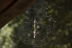 Trashline Orb Weaver (Cyclosa, Araneidae) spider on its web (Treebeard) Tags: spider web trashlineorbweaver cyclosa araneidae sanmarcospass santabarbaracounty california