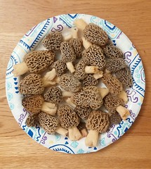 Finally got out hunting and found 26! :) (Roger Daniel) Tags: 2019 graymorel mushroom indiana
