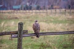 Swainson's hawk (Pattys-photos) Tags: swainsons hawk fence pattypickett4748gmailcom pattypickett swanvalley idaho