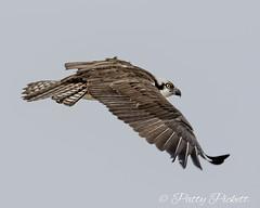 osprey (Pattys-photos) Tags: osprey pattypickett4748gmailcom pattypickett idaho