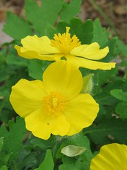 yellow flowers, side and top views (Cheryl Dunlop Molin) Tags: