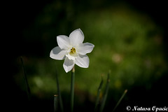 If You Want To Be Strong, Learn How To Fight Alone (_Natasa_) Tags: flower green white whiteflower spring alone nature art closeup canon canoneos7d canonef2470mmf28liiusm natasaopacic natasaopacicphotography singleflower