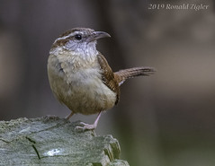 Carolina Wren IMG_4435 (ronzigler) Tags: animal wildlife nature avian songbird bird wren carolina canon 80d sigma 150600mm