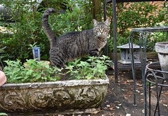 Camille in the catnip planter (rootcrop54) Tags: camille female mackerel tabby striped cat concrete planter fresh catnip neko macska kedi 猫 kočka kissa γάτα köttur kucing gatto 고양이 kaķis katė katt katze katzen kot кошка mačka gatos maček kitteh chat ネコ