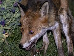 IMG_8700 (fletchlewista2) Tags: fox urban wildlife mamal canon bluebells