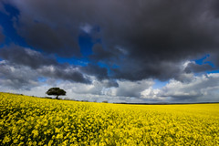 Mellow yellow (snowyturner) Tags: field tree flowers spring agriculture clouds sky landscape yellow canola cornwall