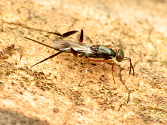 Eupelmid Wasp (treegrow) Tags: rockcreekpark washingtondc nature lifeonearth raynoxdcr250 arthropoda insect metapelmaspectabile eupelmidae hymenoptera deadwood