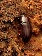 Shiny Teneb (treegrow) Tags: rockcreekpark washingtondc nature lifeonearth raynoxdcr250 arthropoda insect beetle coleoptera tenebrionidae ulomaimpressa deadwood