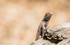 Male eastern fence lizard - Vineland, New Jersey (superpugger) Tags: fencelizard lizard lizards swift swifts pinelizard reptile reptiles herptile herptiles herping outdoors nature animals animal pinebarrens macro lpugliares newjerseywildlife newjerseypinelands newjerseypinebarrens
