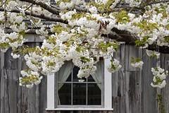 100 Flower in 2019-027 Cherry Blossom (karendunne337) Tags: