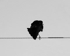 Courtship display (Neo-noir) Tags: bird black love nature mono naturaleza animals noir negro pajaro courtship