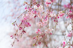 Weeping cherry tree (takapata) Tags: sony sel90m28g ilce7m2 macro nature flower sakura cherry tree