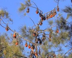 Grey headed Flying Foxes (Peter.Stokes) Tags: australia australian colour landscape nature outdoors animals photo countryside fauna wildlife landscapes photography flyingfoxes flying flight bats greyheadedflyingfoxes