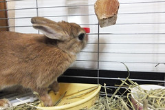 Ichigo san 1541 (Errai 21) Tags: いちごさん ichigo san  ichigo rabbit bunny cute netherlanddwarf pet うさぎ ウサギ いちご ネザーランドドワーフ ペット 小動物 1541