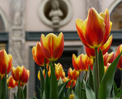 Tulipes (BenoitGEETS-Photography) Tags: fleur flower bloem a6000 sony bruxelles brussels galeriedelareine tulipe tulip tulp