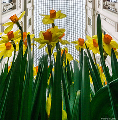 Jonquilles (BenoitGEETS-Photography) Tags: fleur flower bloem a6000 sony bruxelles brussels galeriedelareine jonquil