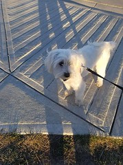 FOUND small white dog in #Evanston. Wearing harness. Pup is safe at McKnight 24 vet hospital and does have a chip. Pls rt and share to help find family. YYC Pet Recovery shared a post. We found this dog in evanston by the catholic school. It had a harness (yycpetrecovery) Tags: ifttt april 18 2019 0111am