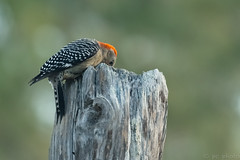 red-bellied woodpecker foraging - Explore (pattycphotography) Tags: black white blackandwhite bird green tree red trees light nature nikkor