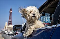 Blackpool  U.K  2019 (Gisela Szlatoszlavek) Tags: dogs blackpool streetphotography womenstreetphotography colourstreet ukstreet